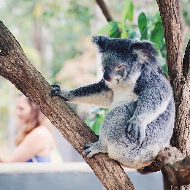 koala bibrian