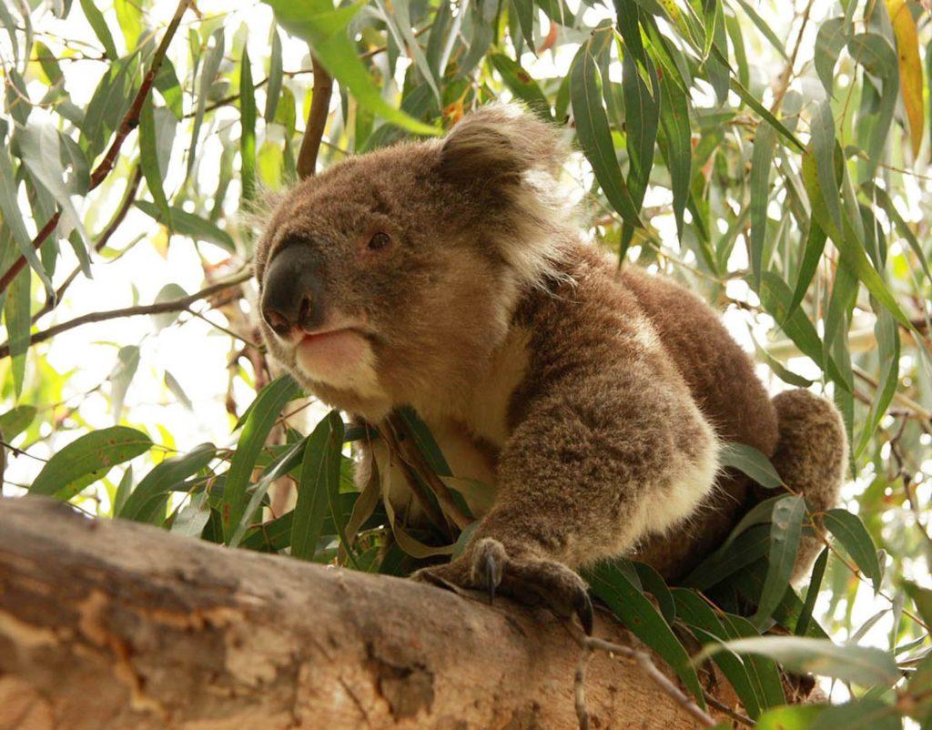 Camping Great Ocean Road Koala