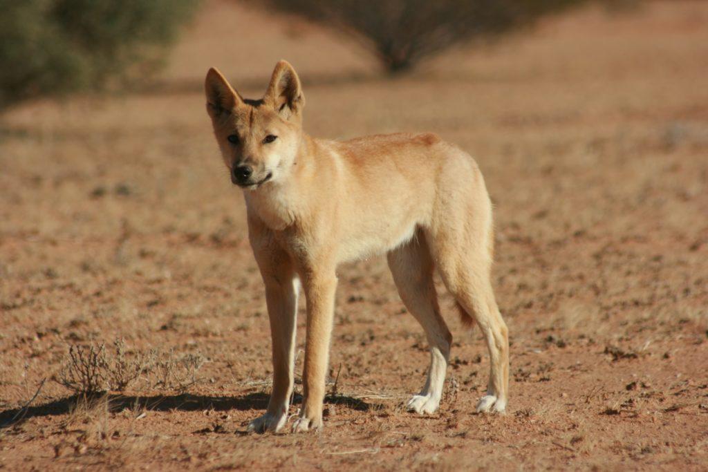 Dingo Kimberley Camping