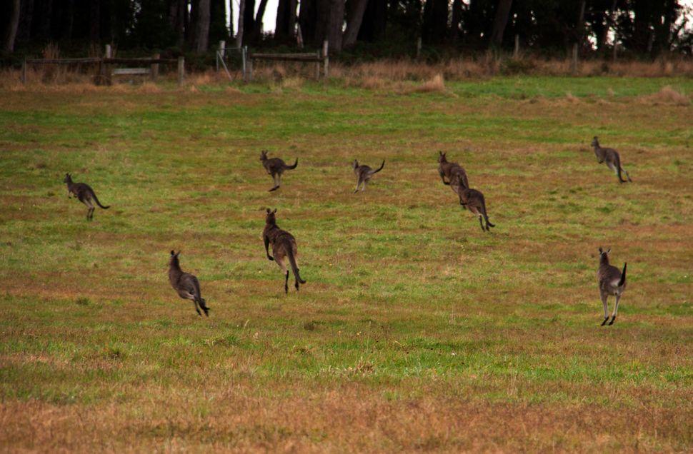 kangaroos-loose
