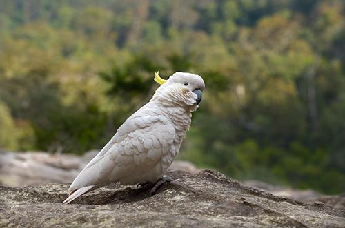 blue mountains cockatoo