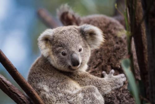 Koalas at Currumbin Wildlife Centre