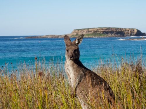 Kangaroo at Batemans Bay NSW